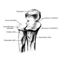 Ліктьова кістка анатомія