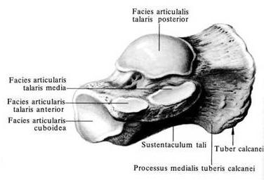 пяточная кость фото