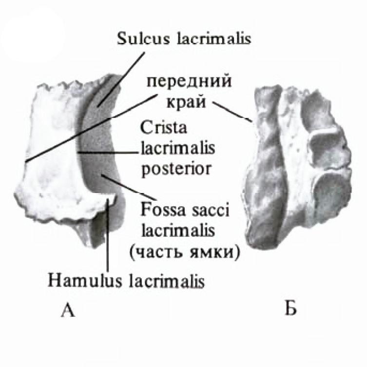 Lacrimal bone anatomy