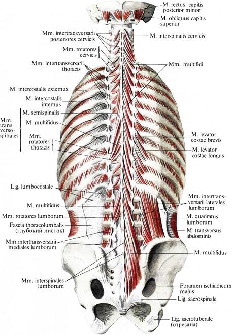 (Глубокие мышцы спины: второй