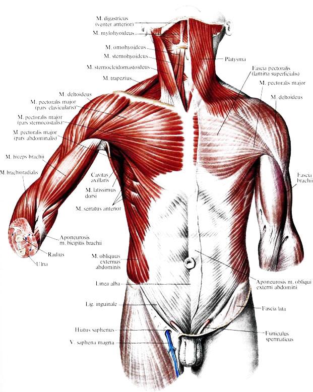 Мышца зубчатая фото