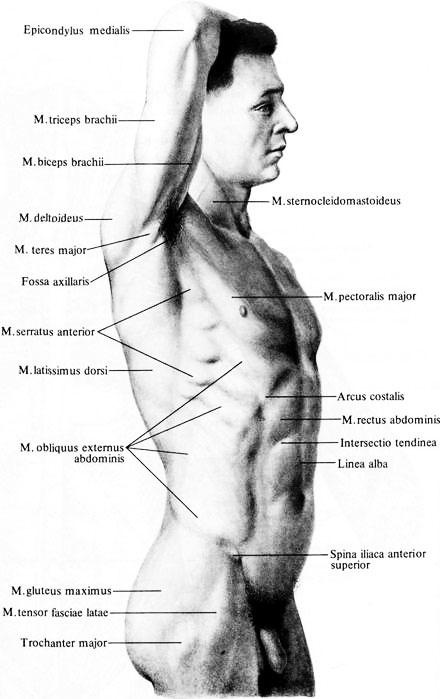 Мышца зубчатая