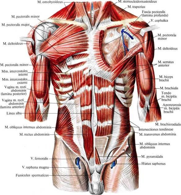 Мышца внутренняя