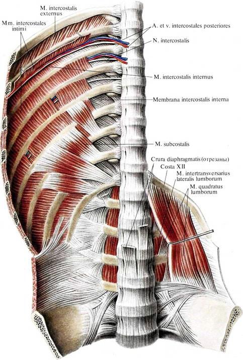 Мышцы межреберные фото