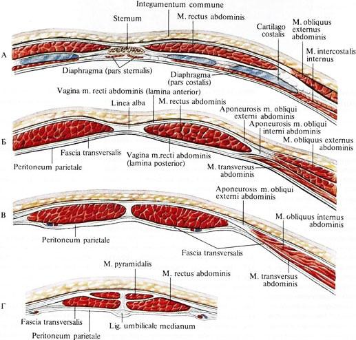 Влагалища прямых мышц живота