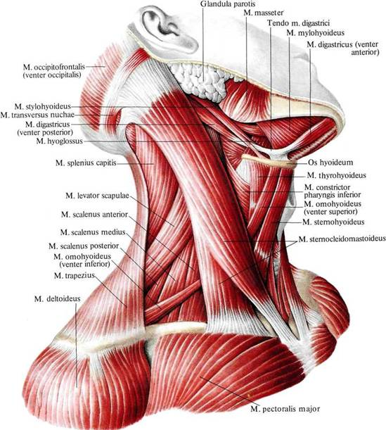 Мышца лестничная фото