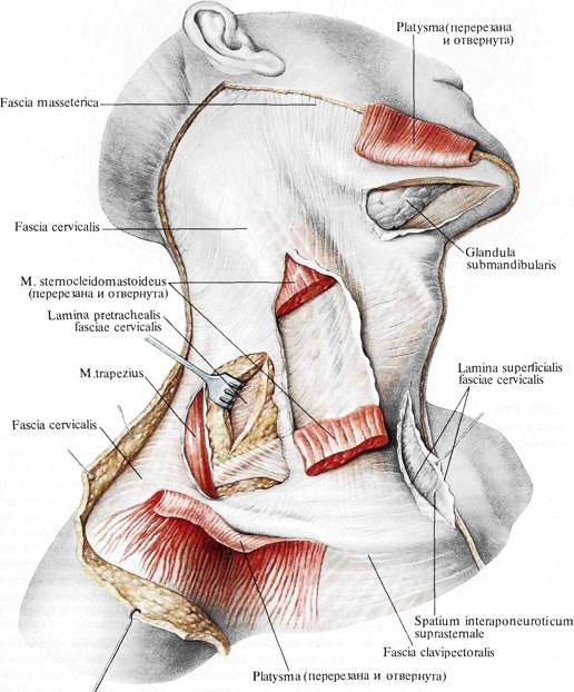 Мышца грудино-ключично-сосцевидная