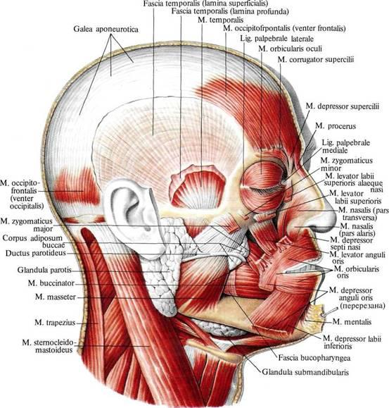 Мышца надчерепная