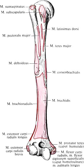 поверхности плечевой кости