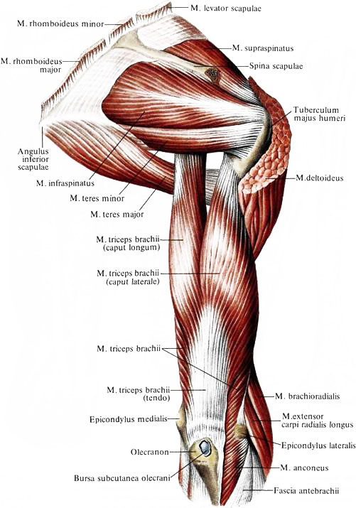 Мышца локтевая фото