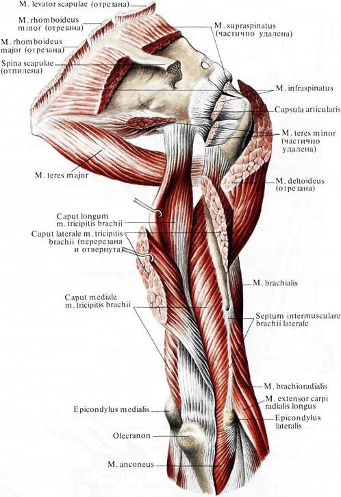 Мышца Трехглавая фото
