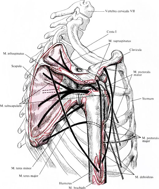 Мышца дельтовидная фото