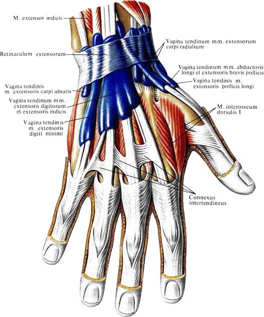 тыльная поверхность лучезапястного сустава