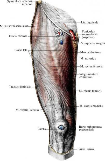 Anatomy of the thigh