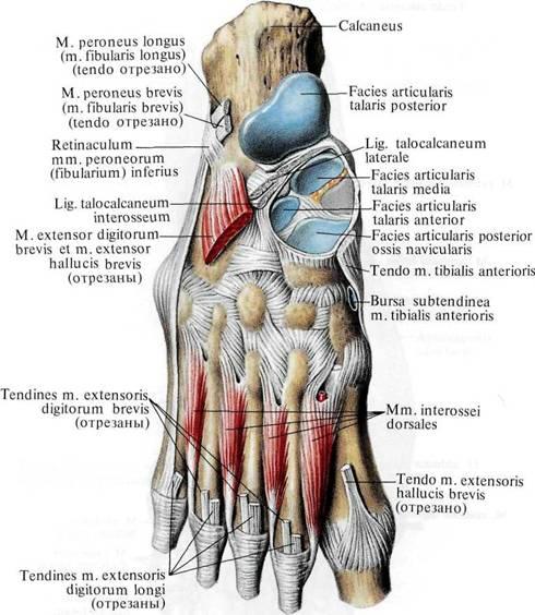 части пяточной кости и,