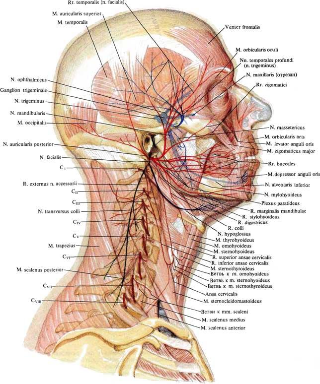 Нерв спинномозговой добавочный фото