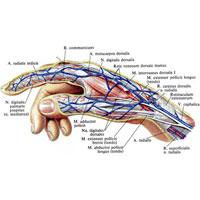 Рис. 1024. Нервы, артерии и вены кисти, правой; лучевой край.