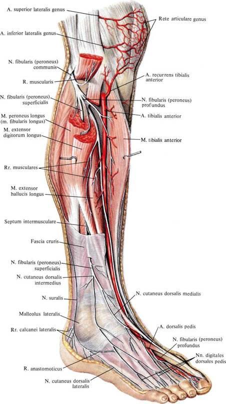Мышца малоберцовая фото