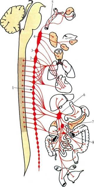 нервной системы (схема).