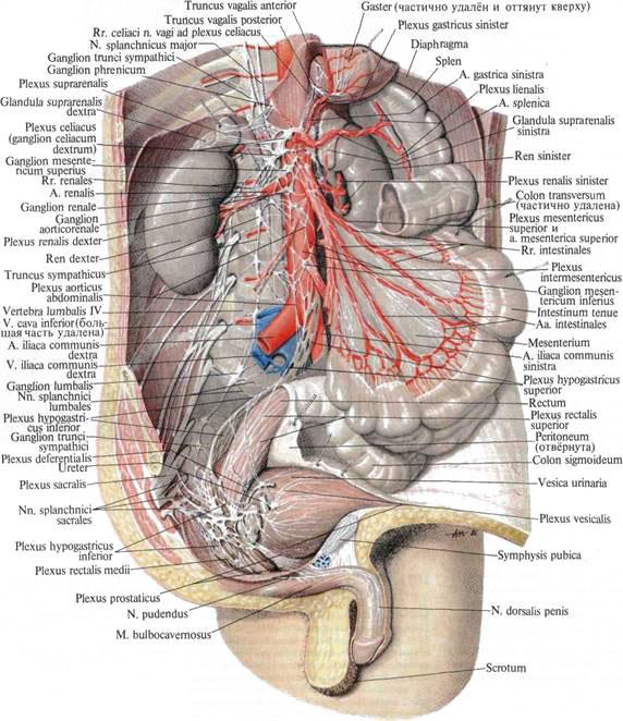 Нервы внутренностные фото