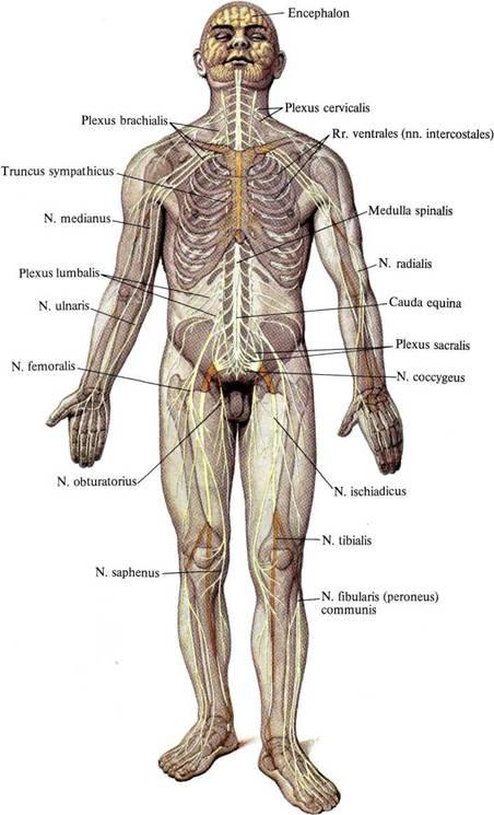 Система Нервная фото