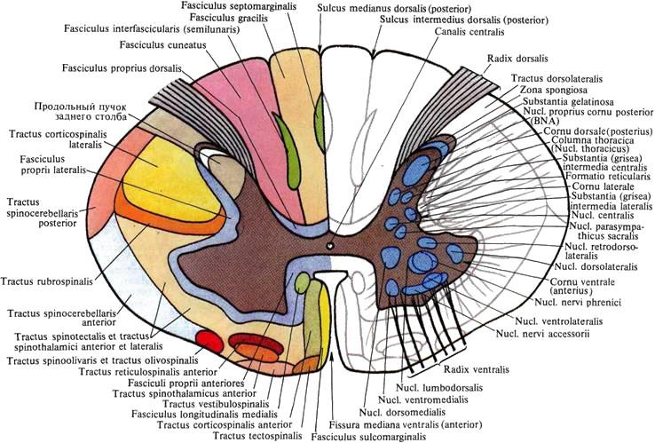 Проводящие пути мозжечка