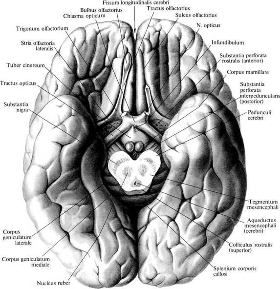 Мозг промежуточный