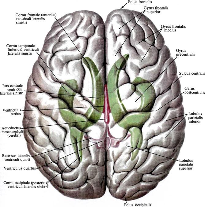 Субкаллезная полость головного мозга