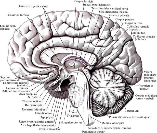 Крыша Среднего Мозга