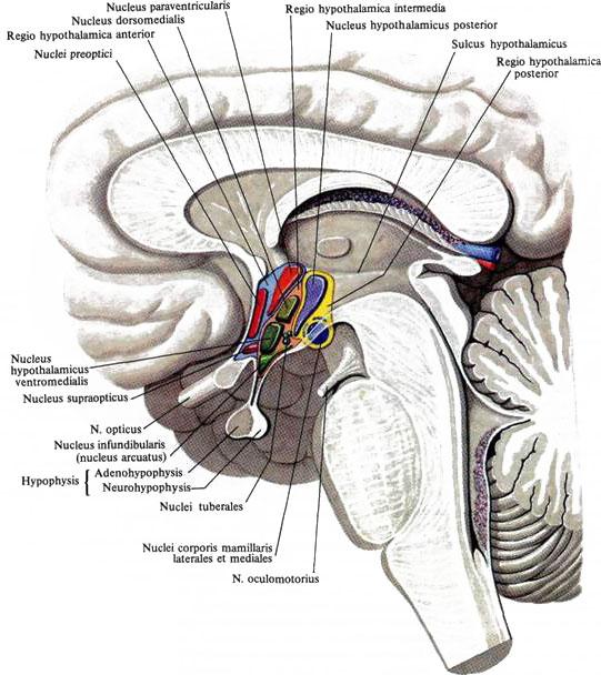 Мозг промежуточный фото