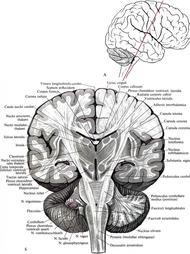 Являясь частью ствола мозга,