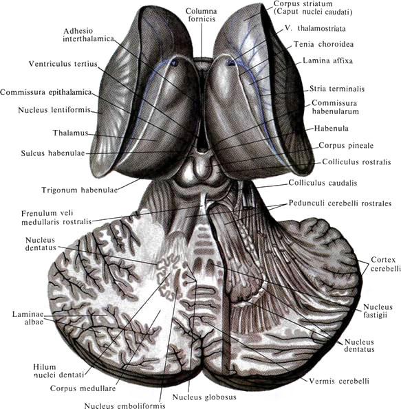 Червь Мозжечка фото
