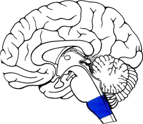 Продолговатый мозг: http://spina.pro/anatomy/nervnaja-sistema/centralnaja-nervnaja-sistema/golovnojj-mozg/rombovidnyjj-mozg/prodolgovatyjj-mozg.php