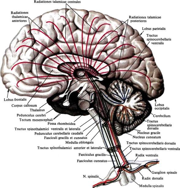 Крыша Среднего Мозга фото