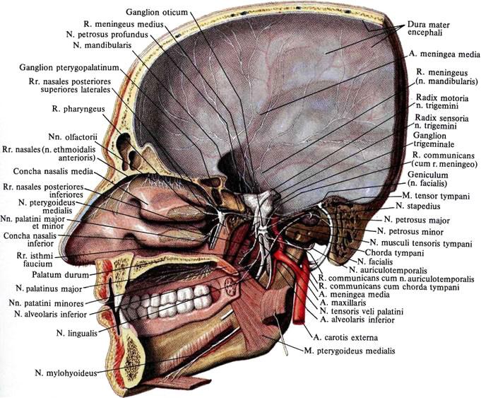 нерв слуховой