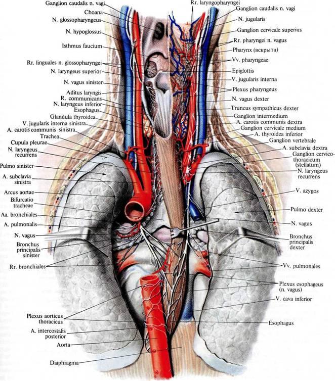 Нерв языкоглоточный