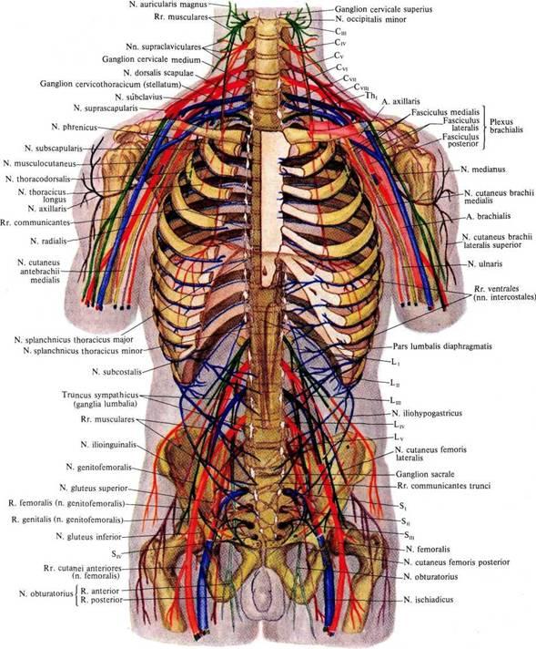 мышцы спины лучевой нерв