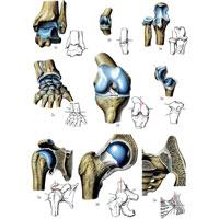 суставы 1а Проекции органов и участков тела на кисть и на стопу