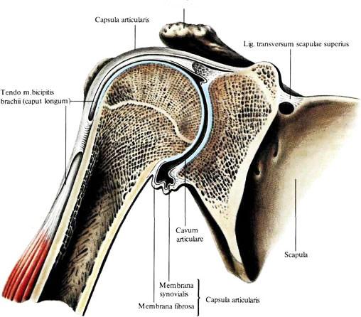 Суставные поверхности плечевого сустава имеют форму схема тазобедренного сустава человека