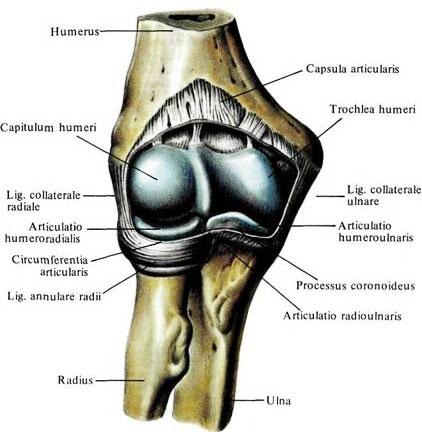 Сустав локтя фото артроскопия коленного сустава в красноярске отзывы