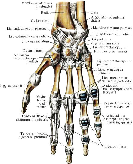 Полость запястно-пястного сустава латынь бандаж для фиксации голеностопного сустава