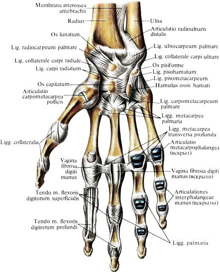 Поверхность суставов артралгия суставов кистей