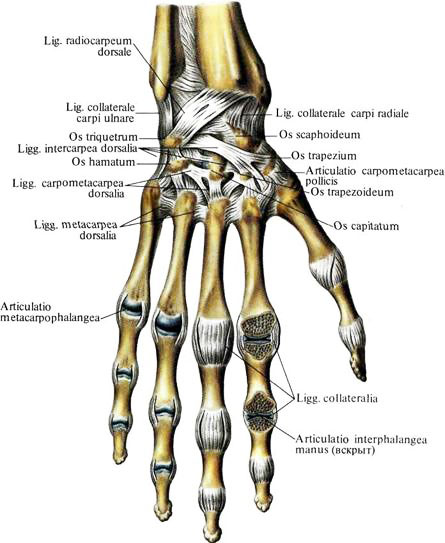 Какие кости образуют лучезапястный сустав рисовать суставы