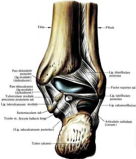 Связки подтаранного сустава диагностическая артроскопия коленного сустава цены