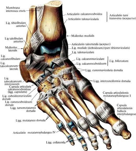 Связки и суставы стопы правой диагностика болей в коленном сустав в спб