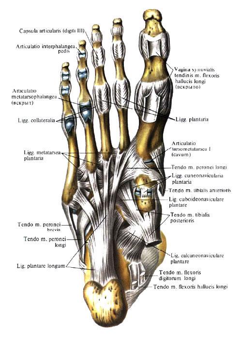 Пяточно-кубовидный сустав движения лечение заболевания суставов в к