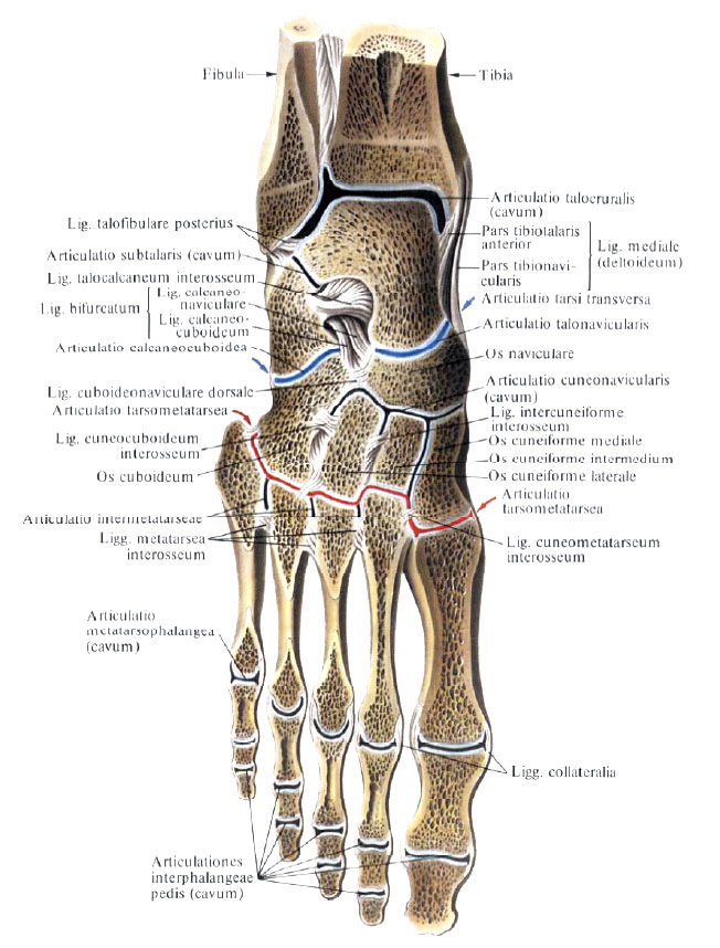 Подтаранный сустав форма блокируется коленный сустав