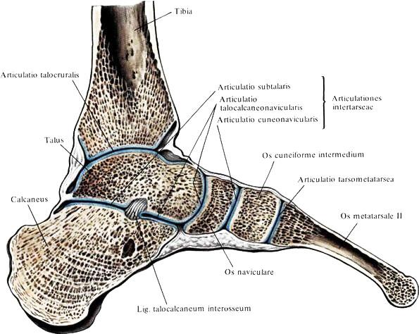 Пяточный сустав где находится боли в тазобедренных суставах при остеохондрозе поясничного отдела