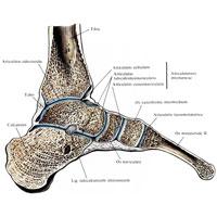 Таранно пяточно ладьевидный сустав