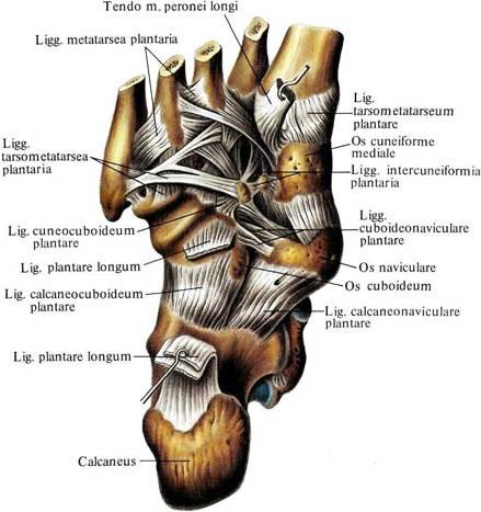 Межплюсневые суставы стопы как снять отек с плечевого сустава